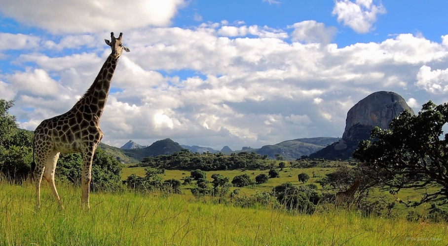 Giraffe at Inn on Rupurara