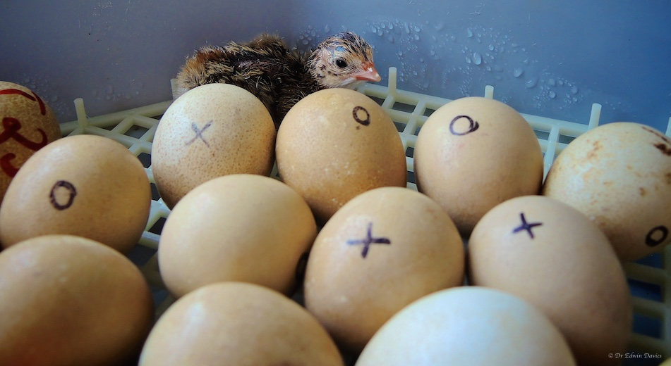 Hatching Guinieafowl eggs
