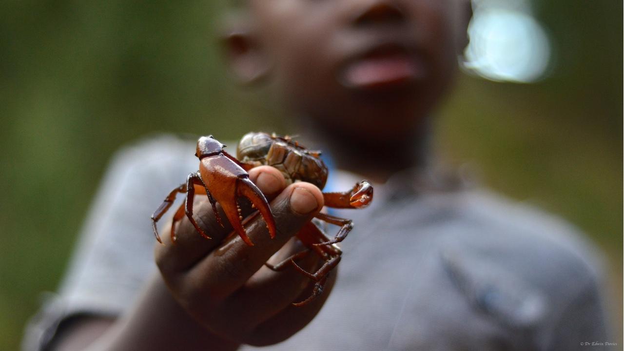 Mutare River Crab (Potamonautes mutareensis)