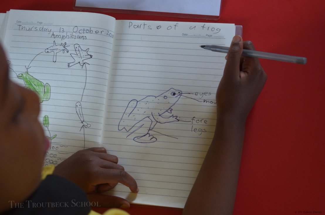 Drawing the lifecycle of the frog