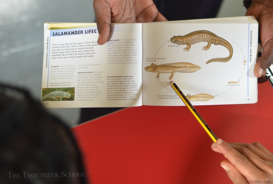Life cycle of the salamander